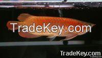 Selling Golden Arowana Fish