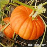 Snow White Pumpkin