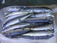 new stock frozen mackerel 200-300g