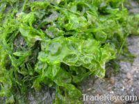 Fried & Dried Green Seaweed - ULVA LACTUCCA