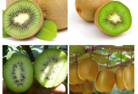 organic fresh kiwi fruit with best quality and competitive price