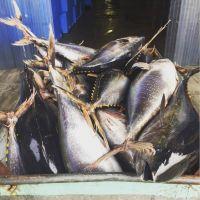 High Quality Yellow Fin Tuna Frozen Fish