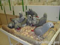 Fancy Pigeons, Fancy chickens, Waterfowl and other live animals
