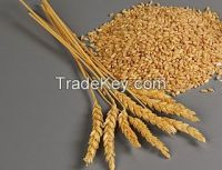 Wheat for human and animal feed production for export