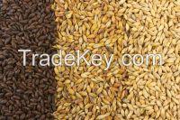 Barley for human and animal feed production