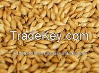 Canary seed, Canary seed, Alpiste for bird food