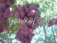 Fresh Grapes 2015-2016 Season! Red Globe, Flame & Superior!