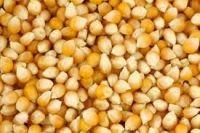 Yellow Corn And  White Corn