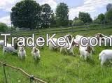 Boer Goats, Live Goats, Live Sheep, Lamb, Sheep Meat