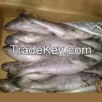 Frozen Sea Bass / Barramundi Fish