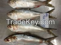 FROZEN DOTTED GIZZARD SHAD FISH W/R