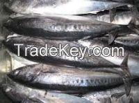 Fresh Frozen Pacific Mackerel Fish