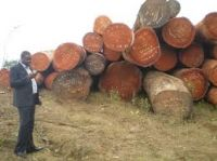Mahogany African Teak wood logs and timber