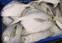 Silver Pomfret Fish / WR Fresh Silver Pomfret