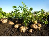 Atlantic Seed Potato / French fries Potato
