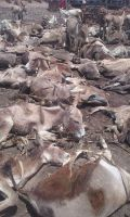 Quality wetdry salted and unsalted cow hides