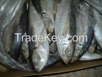 Horse Mackerel Fish for sale