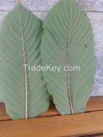 sell kratom powder ( Mitragyna Speciosa )