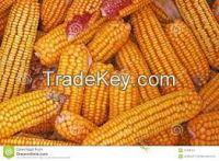 Corn for animal Feed