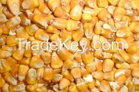 Yellow and White corn for animal Feed