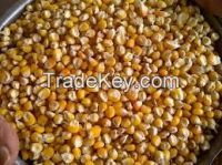 YELLOW AND WHITE Corn for SEEDS
