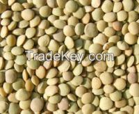 Green Lentils Available Low price .