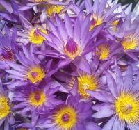 Blue Lotus ( Nymphaea Caerulea )
