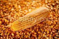 Quality Yellow corn for Animal Feed