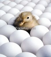 High Quality Duck Eggs