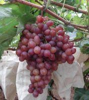 Sell grape