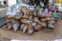 Giant African Snails flesh, shell, oil, frozen, live, dried, powder.