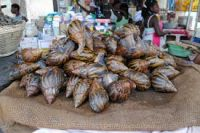 Sell Live Giant African Snails flesh, shell, oil, frozen, live, dried, powder..