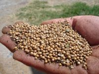 Good quality products Coriander Seed