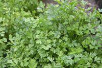 Good Herbs (Parsley- Dill - Basil xxxxx)