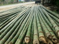 Bamboo poles, bamboo canes, dried yellow for agricultural and furniture