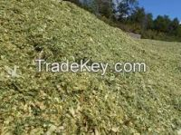 CORN SILAGE FOR CATTLE FEEDING