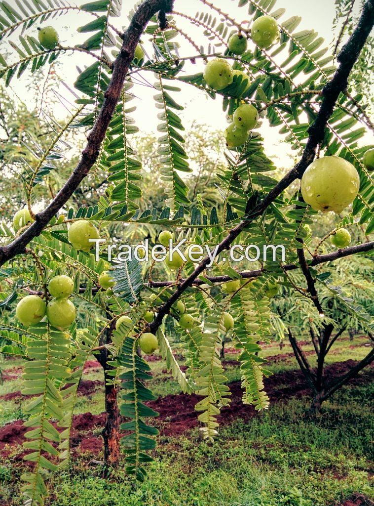 amla pulp; indian gooseberry pulp