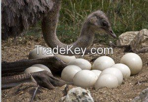 Ostrich Eggs, Feathers and Chicks for Sale