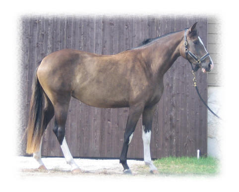Live Stock Horses