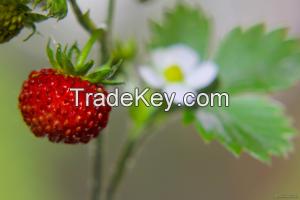 Harmony wild strawberry jam