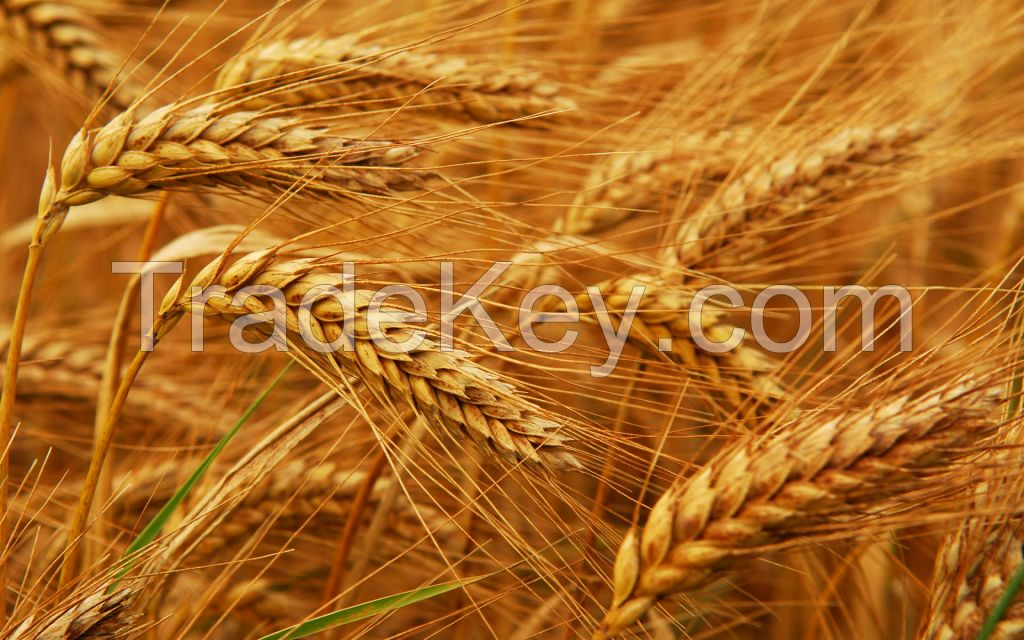 Wheat Grain , wheat flour