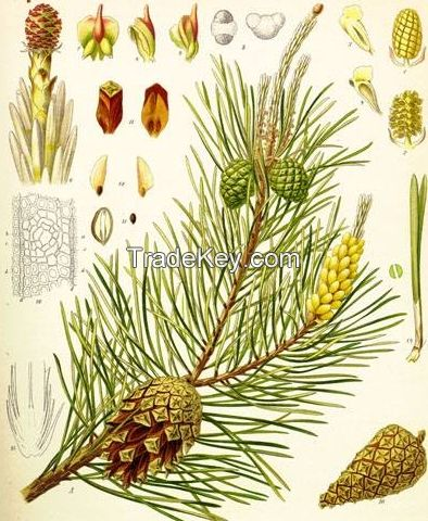 Natural Pine Turpentine Oil Pine Oil Wholesale Herbal Hair Care Oil