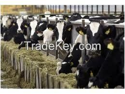 Boer Goats Holstein heifers Cows Camels Sheep for sale
