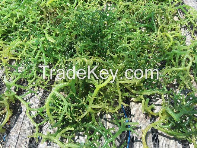 Dried seaweed Eucheuma Cottonii