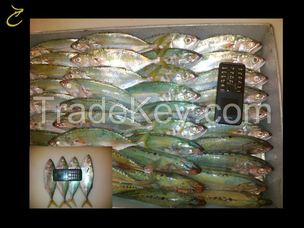 Ribbon Fish, Spotted Spanish Mackerel, Indian Mackerel, Loligo from Indonesia