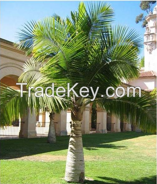 Sell Palm Seeds and Tree Seeds, Palms and Trees Seed