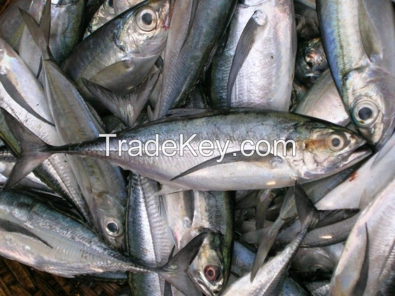 Fresh Frozen Mackerel Pacific for sale