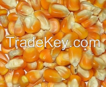 Dried Yellow Corn / Dried Yellow Maize / YELLOW MAIZE for ANIMAL FEED