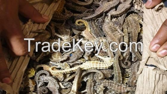 Quality 100% Well Dried Seahorse / Quality Dried Sea Horse for Sale