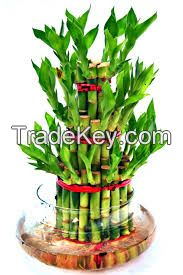 Lucky bamboo plant 3 layer